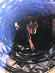 Roxi playing in Agility Tunnel 4